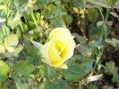 Rosa Lillipuziana gialla