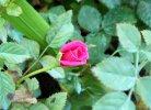 Rosa Lillipuziana rosa