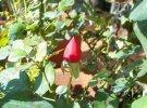 Rosa Lillipuziana rossa
