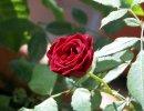 Rosa Lillipuziana rosso scuro