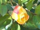 Rosa rampicante gialla con venature arancio