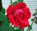 Rosa Rosso Vivo